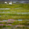 Two undisturbed grazing swans