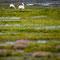 Two undisturbed grazing swans