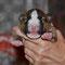 щенки миниатюрного бультерьера