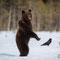 junger Braunbär / durch das Stehen verschafft er sich einen besseren Überblick