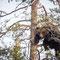junger Braunbär der sich vor einem erwachsenen  Bär  in den Gipfel einer Kiefer in Sicherheit gebracht hat