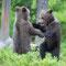 junge Braunbären bei deren Lieblingsbeschäftigung