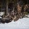 Junge Seeadler / Streit um Futter