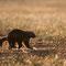 Vielfrass oder Bärenmarder auf einem nächtlichen Streifzug durch Sumpfgebiet
