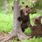 junge Braunbären