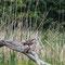 Fischadler mit frischem Fang