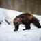 Bärenmarder  oder Vielfraß