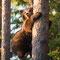 Junger Bär der sich in der Paarungszeit vor einem kapitalen Bären in Sicherheit brachte