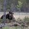 Bären in der Paarungszeit