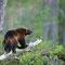 Vielfraß oder Bärenmarder