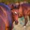 Labhraoloinsigh Cohiba  *2015 Irish Sport Horse