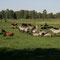 Pferde und Rinder beim Ruhen