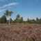 Die Oranienbaumer Heide zur Heideblüte