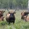 Heckrindgruppe - Kühe und Kälber