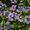 豊島園の紫陽花祭り