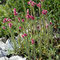 Katzenpfötchen (Antennaria dioica)
