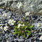 Frühlings-Hungerblümchen (Erophila verna)