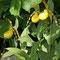 Gelber Frauenschuh (Cypripedium calceoulus)