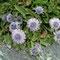 Nacktstängelige Kugelblume (Globularia nudicaulis)