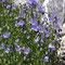 Kleine Glockenblume (Campanula cochlearifolia)