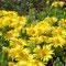 Stauden-Mittagsblume (Delosperma lineare)