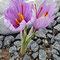 20201017 Safran (Crocus sativus)