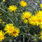 Schwert-Alant (Inula ensifolia)