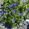 Sommerenzian (Gentiana septemfida)