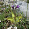 Gemeines Fettkraut (Pincuicula vulgaris)