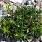 Rostblätterige Alpenrose (Rhododendron ferrugineum)