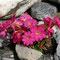 Sumpf-Primel (Primula Rosaea
