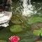Rote Seerose (Nymphaea)