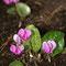 Europäisches Alpenveilchen (Cyclamen purpurascens)