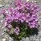 Alpen-Leberbalsam (Erinus alpinus)