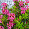 20210607 Rostblättrige Alpenrose (Rhododendron ferrugineum)