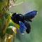 Grosse blaue Holzbiene
