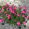 Steinnelke (Dianthus silvester)