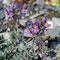 Leinkraut (Linaria alpina)