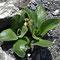 Aurikel (Primula auricula)