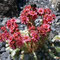 Spinnweg-Hauswurz (Sempervivum arachnoideum)