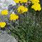 Gelbe Schafgarbe (Achillea Tomentosa