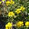 Sonnenröschen (Helianthemum 'Praecox'