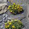 Küsten-Sandstern (Asteriscus maritimus)