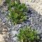 Achtblätterige Silberwurz (Dryas octopetala)