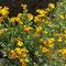 Goldlack (Erysimum cheiri)