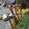 Echte Hauswurz (Sempervivum tectorum)