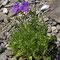 Karpaten-Glockenblume (Campanula carpatica)