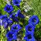 Stängelloser Enzian (Gentiana acaulis)