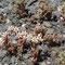 Spanischer Mauerpfeffer (Sedum hispanicum)