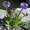 Kugel-Primel (Primula denticulata)